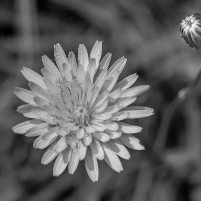 Tarassaco in black & white